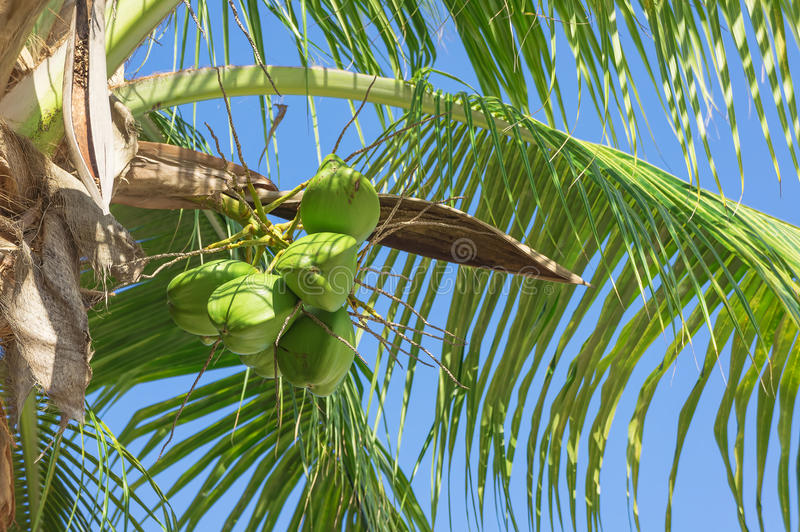 Download Coconut stock photo. Image of nobody, summer, food, nature - 25332542