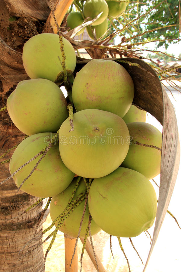 Download Coconut stock image. Image of tree, nature, fruit, young - 27349013