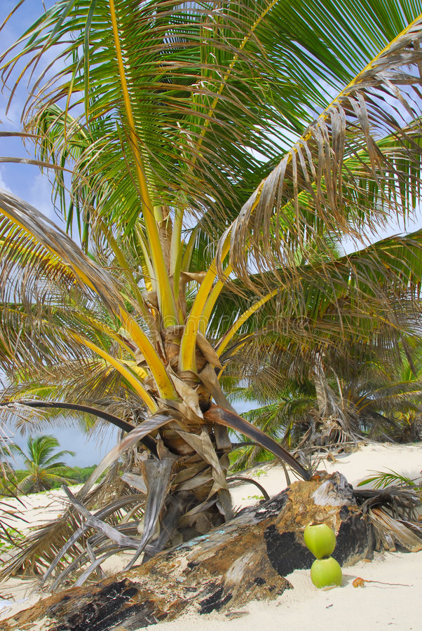 Download Coconut Royalty Free Stock Photography - Image: 6615047