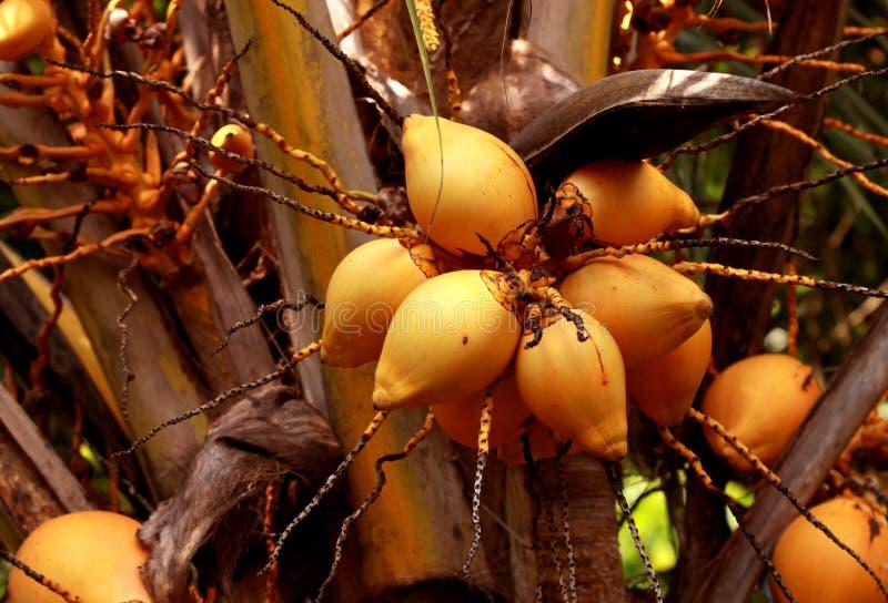 Download Coconut stock image. Image of desert, food, lanka, healthy - 7075803