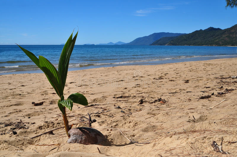 Coconut on a beach stock image