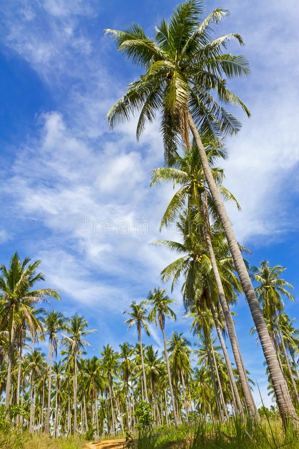 Coconut beautiful with cloud and sky at Beach. Ban Krut Beach Prachuap Khirikhun Province, Thailand is famous for travel royalty free stock photo