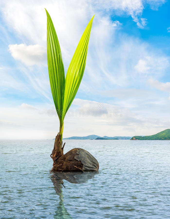 Coconut bud floating in the sea. Bud of coconut floating in the sea royalty free stock photos