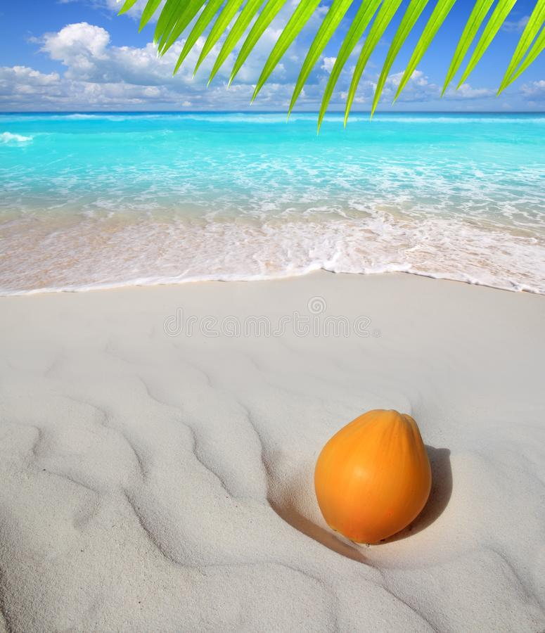 Coconut on Caribbean beach white sand ripe stock image