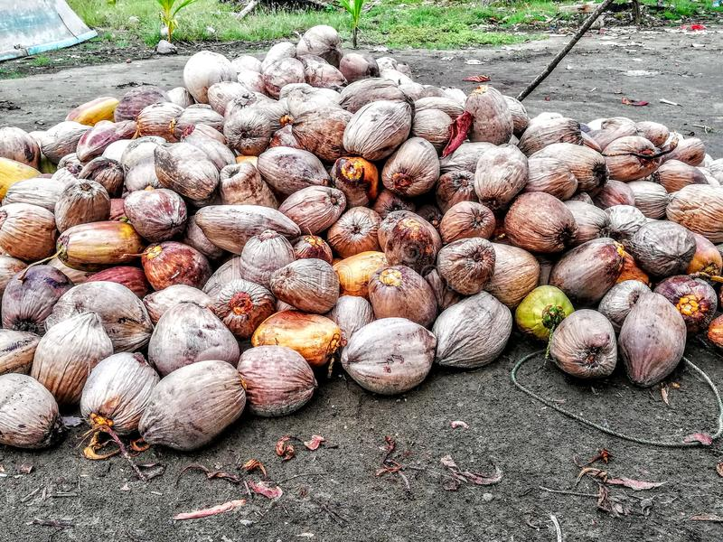 Coconut. Caribbean tourism . Costa Rica. Terraba Sierpe Wetland royalty free stock photography