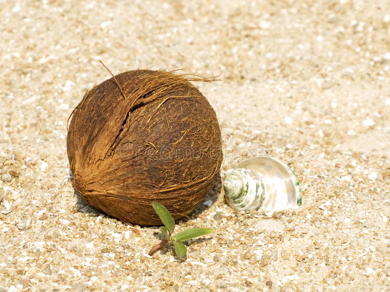 Download Coconut, Conch Shell And Green Sprout On Sand. Stock Image - Image: 25067551