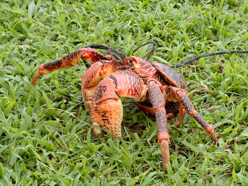 Download Coconut Crab Royalty Free Stock Photos - Image: 5129148