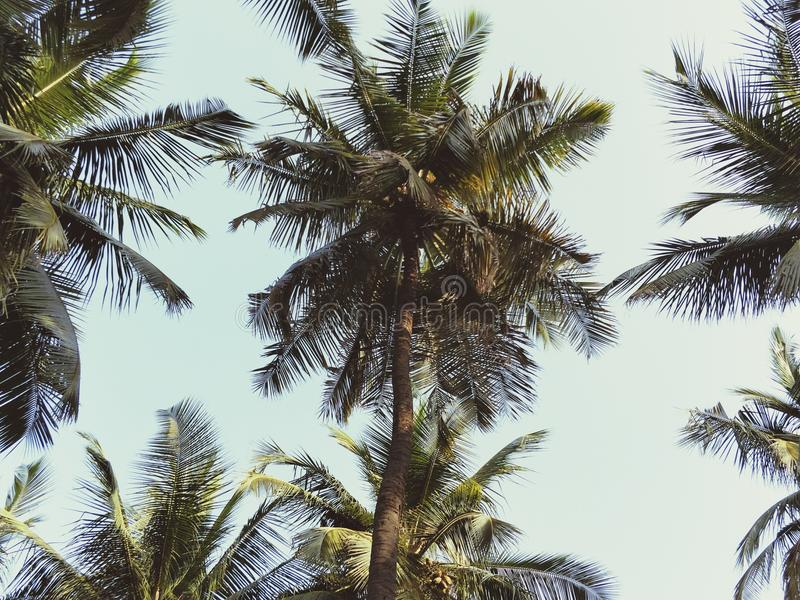 Coconut farm stock image
