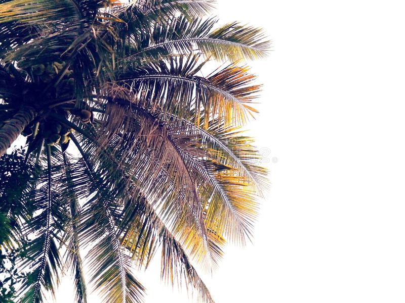 Coconut fronds with white background and space stock photo