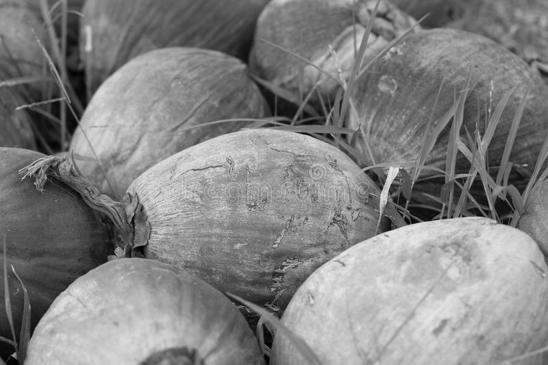Download COCONUT FRUIT Royalty Free Stock Photography - Image: 25773147