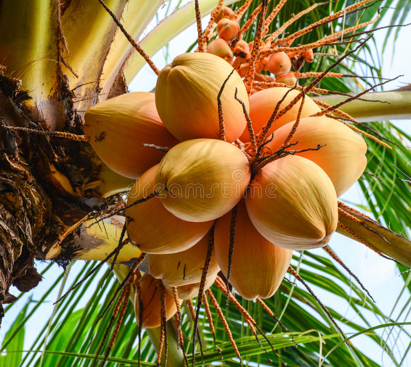 Coconut fruits in Mekong Delta, Vietnam royalty free stock image