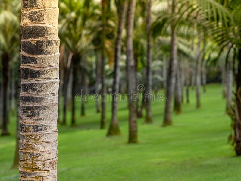 Coconut garden in Tenerife, Spain. Palm tree forest at morning with sunlight. Bokeh effect with blurred background.  royalty free stock images