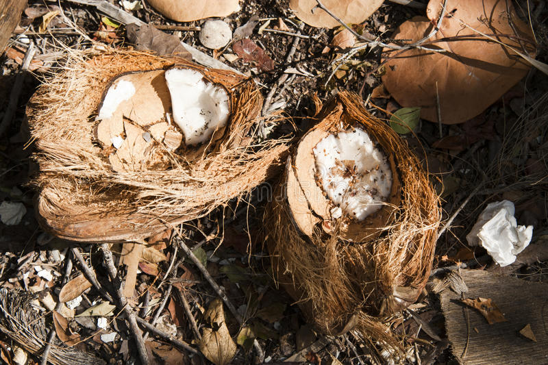 Download Coconut on the Ground stock image. Image of food, agriculture - 17747535