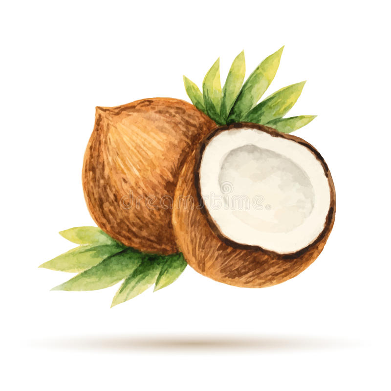 Coconut. Hand drawn watercolor, on a white background. Vector illustration