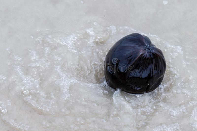 Coconut large black dark in transparent water on a background of white sand tropical ocean in waves close-up royalty free stock image