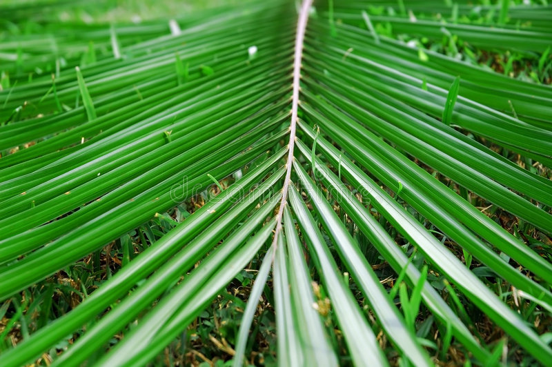 Coconut leaf. Fall royalty free stock images