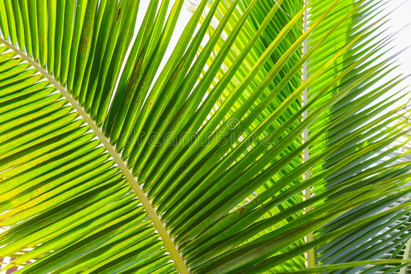 Green Coconut leaf on Isolated white background royalty free stock image