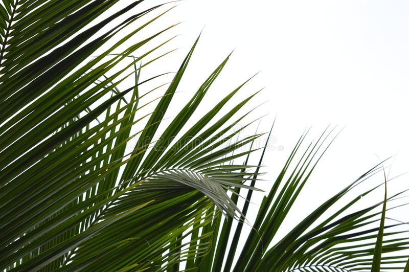 Coconut leaf royalty free stock images
