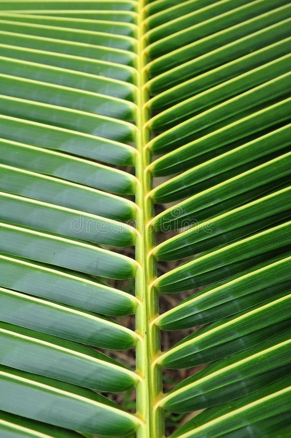 Free Coconut Leaf Pattern Detail Royalty Free Stock Images - 15798659