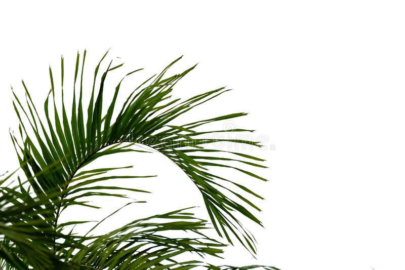 Coconut leaves with branches on white isolated background for green foliage backdrop. Tropical tree leaves branches white isolated background green foliage stock photography