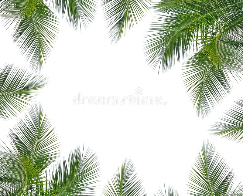 Coconut leaves on white background royalty free stock images