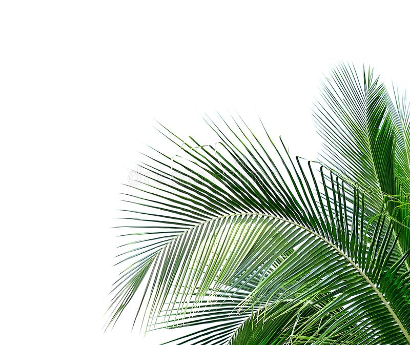 Coconut leaves on white background stock images