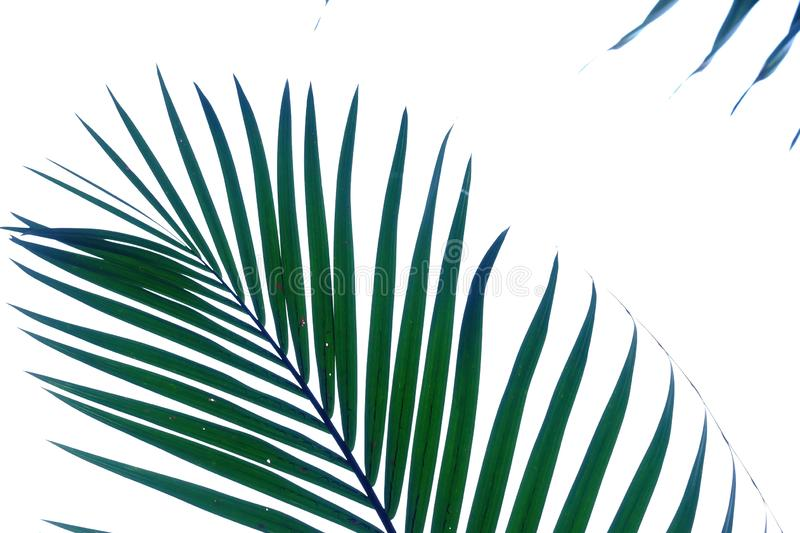 Coconut leaves on white isolated background for green foliage backdrop. Coconut leaves white isolated background green foliage backdrop bend sheet frond branch royalty free stock image