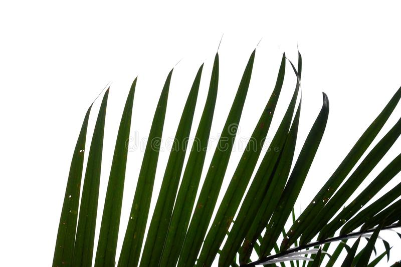 Coconut leaves on white isolated background for green foliage backdrop. Coconut leaves white isolated background green foliage backdrop bend sheet frond branch royalty free stock images