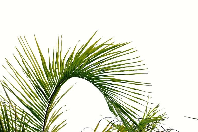 Coconut leaves on white isolated background for green foliage backdrop. Palm leaves white isolated background green foliage backdrop tree plant branches bunch stock images