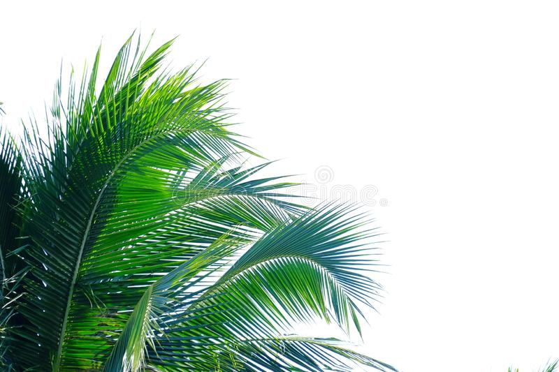 Coconut leaves on white isolated background for green foliage backdrop. Plant leaves branches white isolated background green foliage backdrop tree plantation stock images