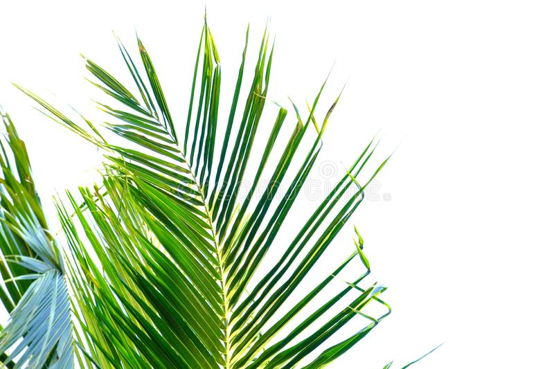 Coconut leaves on white isolated background for green foliage backdrop. Plant leaves growing garden white isolated background green foliage backdrop asia royalty free stock photography