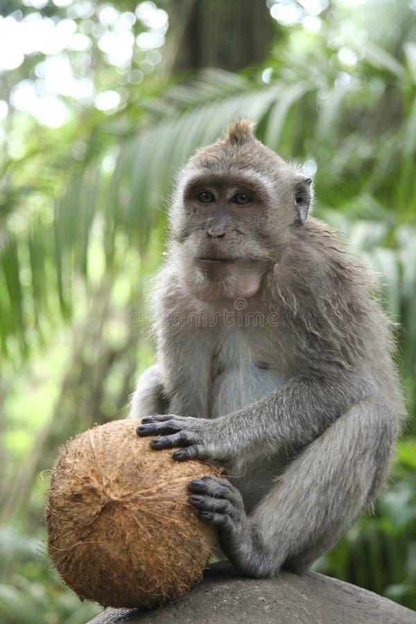 Coconut Macaque Monkey forest ubud bali. Wild balinese Macaque opening cocnut in the monkey forest, ubud, bali, indonesia royalty free stock images