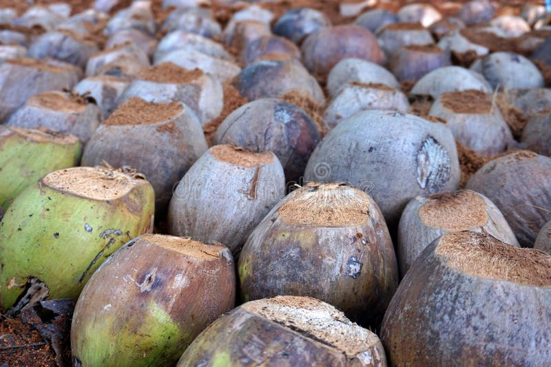 The coconut nursery in Samut Songkhram, Thailand. The coconut nursery in Thailand stock images