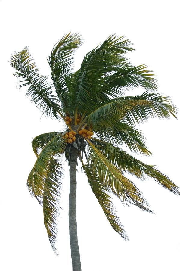Download Coconut palm stock image. Image of breeze, frond, coconut - 13217361