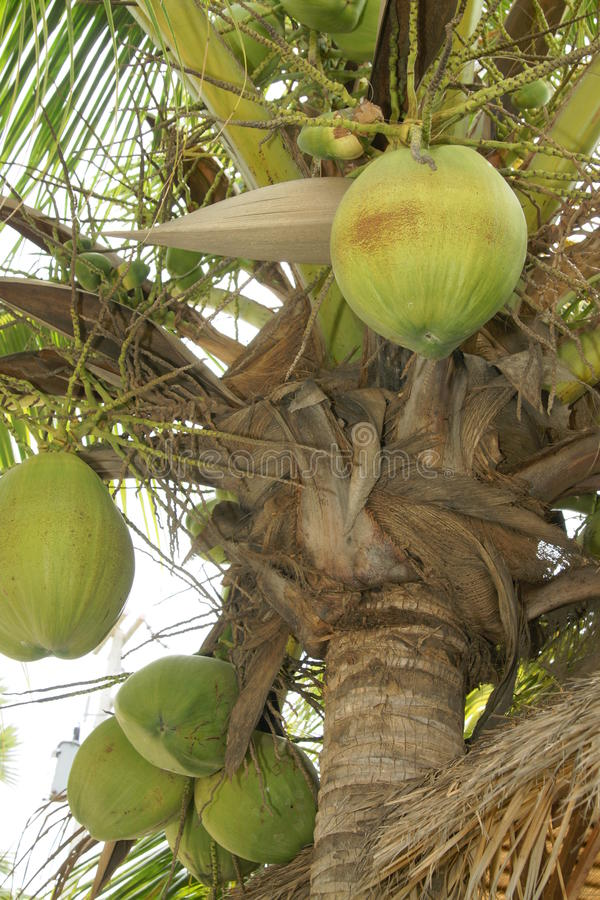 Download Coconut palm stock image. Image of tropical, fruit, leaf - 9833241