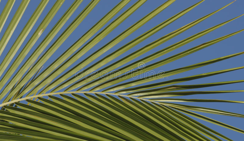 Download Coconut Palm Frond Royalty Free Stock Images - Image: 6025479