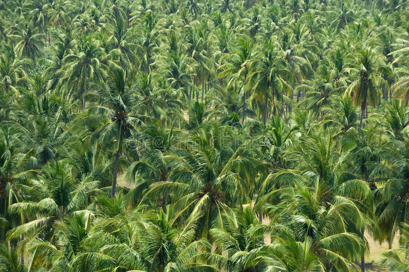 Download Coconut Or Palm Garden In Tropical Island Stock Image - Image: 6649925