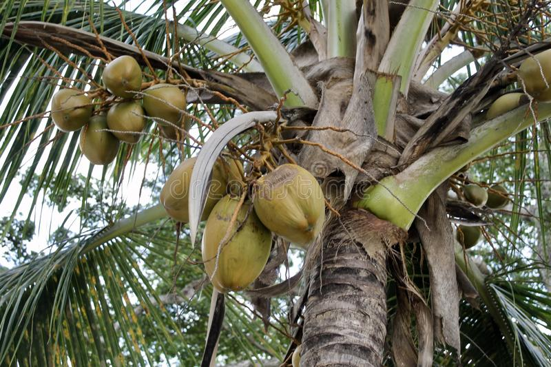 Coconut palm in Nassau stock photography