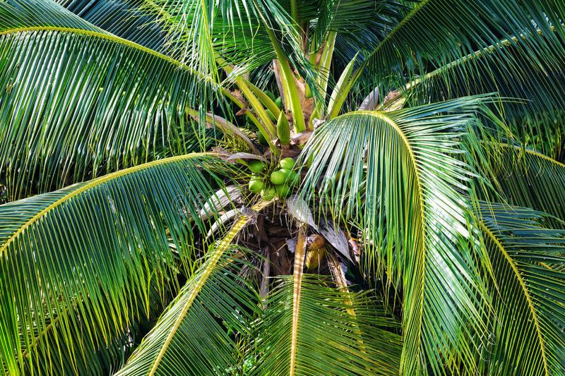Coconut palm with nuts. Close up royalty free stock photography