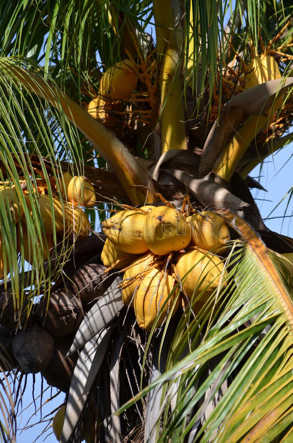 Coconut Palm with nuts. Coconut Palm (Cocos nucifera) in Florida stock photo