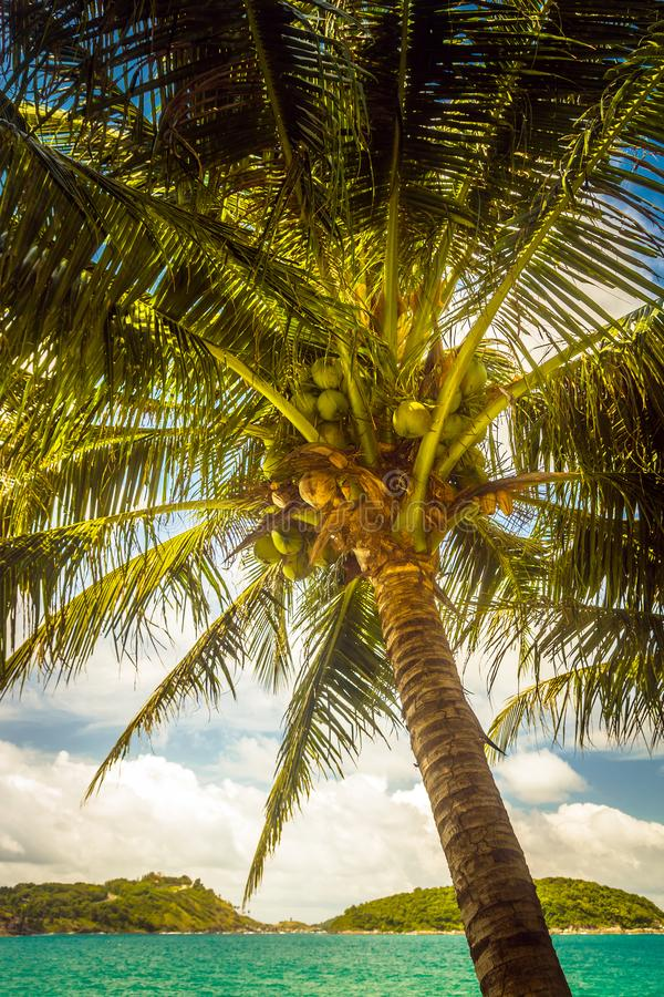 Coconut palm with nuts leaning over the sea. A beautiful palm tree hung with nuts, on the seashore and an evening breeze stock photos