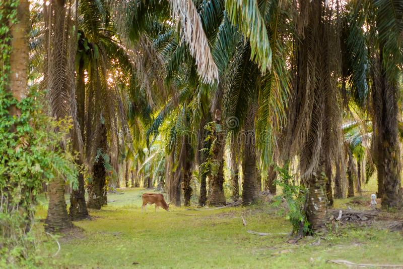 Coconut palm plantation in Krabi stock image