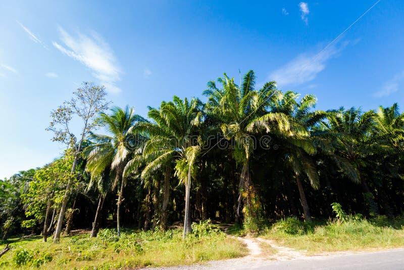 Coconut palm plantation in Krabi royalty free stock photo