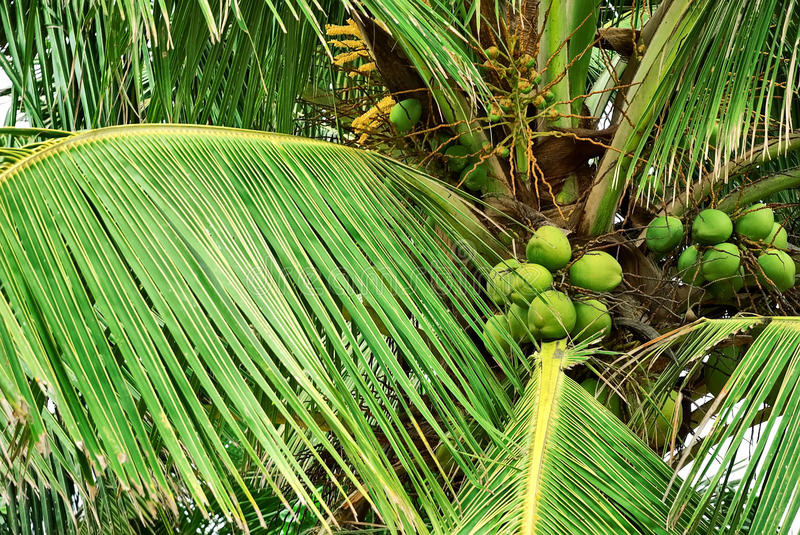 Coconut Palm Tree. Tall coconut palm tree with green coconuts on the island stock photo