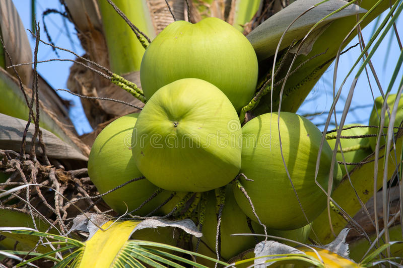 Download Coconut Palm Tree Royalty Free Stock Photography - Image: 28168227