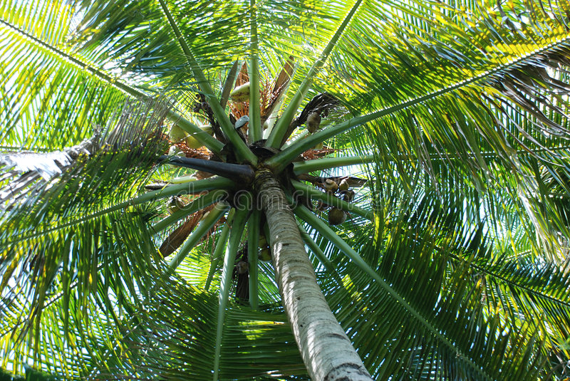 Download Coconut palm tree stock photo. Image of asian, green, tree - 3140618