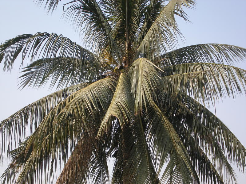 Coconut Palm Tree royalty free stock photos