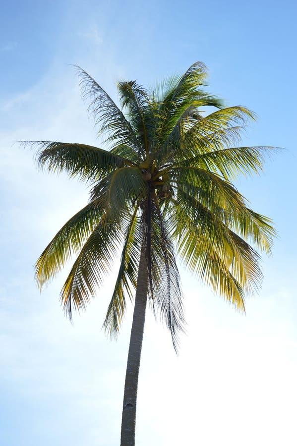 Download Coconut palm stock image. Image of blue, foliage, paradise - 35138097