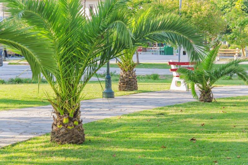 Coconut palm tree along the promenade royalty free stock photos