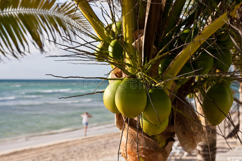 Download Coconut Palm Tree on Beach stock photo. Image of coast - 14246186
